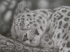 leopardsleeping