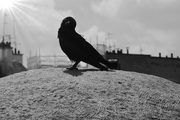 carrion-crow-313156_1280
